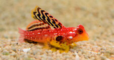 "Live Rare Saltwater Fish - 1"" Ruby Red Dragonet - Exotic Nano Scooter Blenny"
