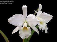 Cattleya labiata alba 6 bulbs 2 new shoots 15 x 20 cm Y.P.