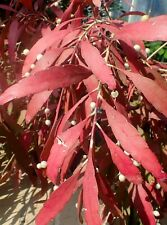 Pseudorhipsalis ramulosa Red Rhipsalis -Red Mistletoe Cactus One healthy cutting