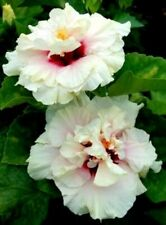 *Love Pat* Rooted Tropical Exotic Hibiscus Plant*Ships In Pot*