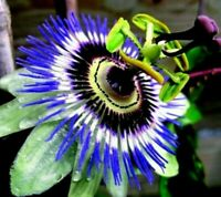 """Passiflora Passion Flower Becky's Blue/White Potted 4"""" Pot Indoor Outdoor Plant"""