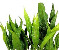 1 Bund Microsorum pteropus - Javafarn Wasserpflanzen Aquarium Aquariumpflanzen