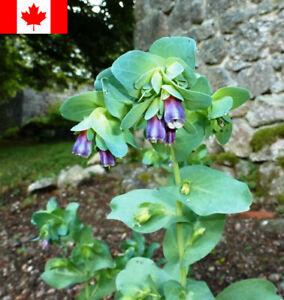 25 Seeds - Cerinthe Honeywort (Cerinthe major 'Purpurascens') Seeds