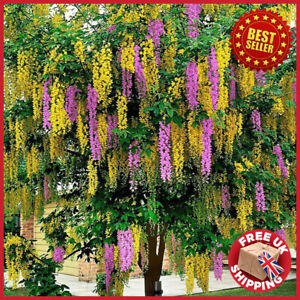 5-6ft tall Adams Laburnum Laburnocytisus adamii Large Tree in 10L Pot