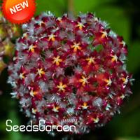 Flowers Hoya Bonsai Dark Carnosa Orchid Garden 25 Colors Available 100 Pcs Seeds