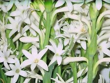 Tuberose single Mexican  5 Bloom size bulbs FRAGRANT - Polianthus on sale