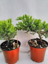"Two Tree Live Bonsai Juniper Garden 4'' Pot with Fishman | 5"" Live Indoor Plant"