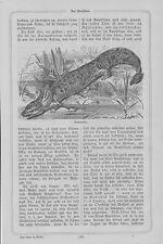 Salamander Salamanderlarven Feuersalamander HOLZSTICH von 1868 Salamandra