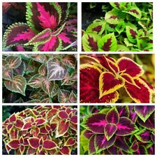 100 Coleus Potted Flowers Seeds 4 Kinds Perennial Ornamental Plant Bright Leaves