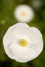 1800 GRAINES de Coquelicot Pure Blanc / Superbe Fleur / Pavot