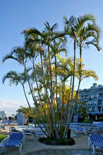 ARECA PALM Dypsis Lutescens, golden cane palms ornamental fence seed 30 seeds