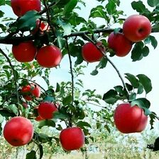 5 Seeds Red Apple Fruit Love Red meat Fruit Garden Plants Imported Bonsai seeds