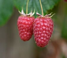 Raspberry Tulameen Sweet Soft Fruit Plant 3L Large Pot Edible Garden Outdoor