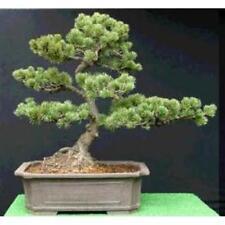 5 X Chino Pino Blanco seeds.tree semillas que pueden utilizarse para Bonsai.