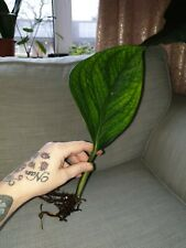 Rare Monstera Pinnatipartita rooted cutting