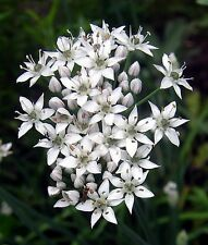 250 GARLIC CHIVE Allium Flower Vegetable Herb Seeds