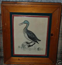 ANTIQUE GEORGE EDWARDS PRINT REDTHROATED LOON #97 1743