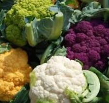 CAULIFLOWER WHITE, PURPLE, ORANGE, GREEN vegetable plants- 4cell seedling punnet