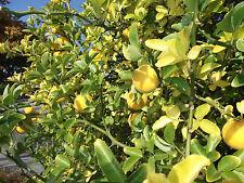 Sukkulenter Orangenbaum Poncirius ❁ Winterhärtester Zitrusbaum d. Welt ❁ Saatgut
