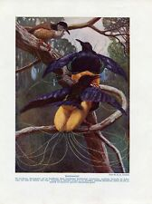 c1900 YELLOW PARADISE BIRDS PAPUA AUSTRALIA Antique Litho Print W.Bolsche