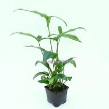 Anubias Gracilis Mutterpflanze, robuste Wasser-, Aquariumpflanze, Barschfest