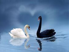 Ansichtskarte: ungleiche Liebe - schwarzer und weißer Schwan - two swans