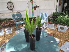 Beccariophoenix Alfredii High Plateau Coconut Palm Cold Hardy