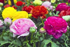 20 Ranunculus Asiaticus MIX Summer Flowering Bulbs Buttercup Garden Perennial
