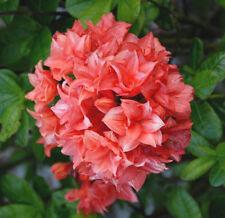 Gartenazalee My Reini Rhododendron luteum 30-40cm Frühlingsblüher
