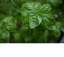 Basil, Genovese Basil Herb Seeds - Fresh & Non GMO