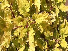 """COLEUS - GOLD LACE - 2 LIVE PLANTS - 3"""" POTS"""