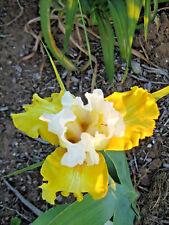 Tall Bearded Iris ALPINE HARMONY (bare rooted rhizome)