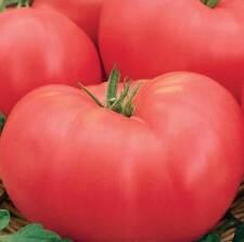 Seeds Tomato Favorite Early Red Large Vegetable Organic Heirloom Russian Ukraine