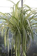 Indoor Plant -House or Office Plant -Chlorophytum - Hanging Spider Plant