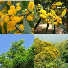 50Pcs Acacia Confusa Tree Seeds Mixed Beautiful Yellow Plant Garden Decor Bonsai