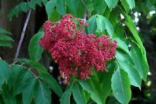 50 Graines Arbre à Miel Tetradium - Evodia 'Tetradium ruticarpum' tree seeds