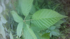 6 Blackberry Roots Wild Grown Thorned Organic