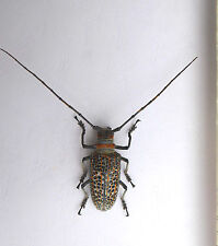 Beetle, Cerambycidae, ROSENBERGIA  straussi F ex Kerowagi, Papua New Guinea K2