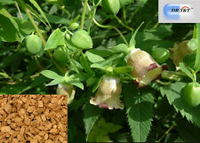 DR T&T 100g dry herb of Dang Shen(Radix Codonopsis) top quality with certificate