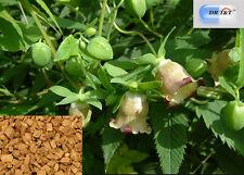 DR T&T 100g erba secca di DANG SHEN (RADIX Codonopsis) alta qualità con certificato