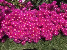 X10 Pig Face  Mesembryanthemum Bright Red Plants