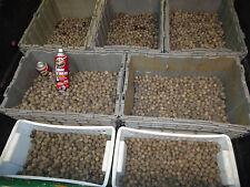 1,000           Jubaea Chilensis wine palm seeds     $200