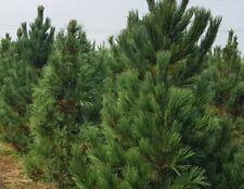 Swiss Stone Pine, Arolla Pine(Pinus cembra) 20 seeds