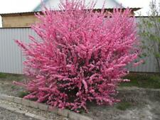 Prunus triloba 10 seeds