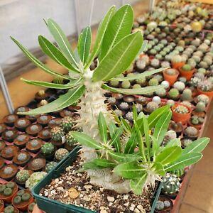 Pachypodium densiflorum 13 cm. pot  rare cactus copiapoa caudex euphorbia