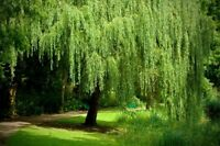 One (1) Golden Weeping Willow Tree - Ready to Plant - Beautiful Arching Canopy