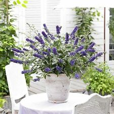 Butterfly Bush Buddleia Blue Chips Patio Dwarf Potted Flowering Plant Best Gift