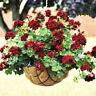 20PCs Rare Geranium Flowers Seeds Black rose Pelargonium  Plant Perennial