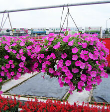 Semi-Trailing Petunia Seed 50 Seeds Petunia Hybrida Hanging Plant Seeds Hot G004