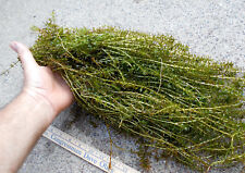 100+ Stems Elodea Anacharis Water Plants 1+ Pound Aquerium Crayfish Turtle Food